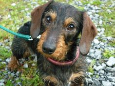Connor, wire-haired miniature dachshund, aged 1 year.