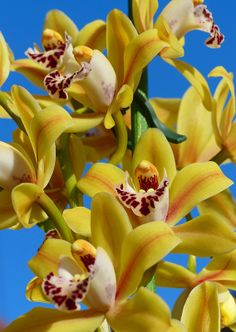 yellow Cymbidium orchid Mum, we had so much left to do together.  People ... if your mom is still here ... cherish every single day!!