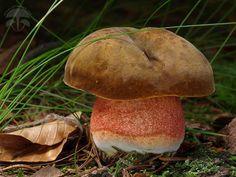 Mushroom Pictures, Mushroom Fungi, Botany, Stuffed Mushrooms, Food And Drink, Gardening, Mushrooms, Arrows, Fungi
