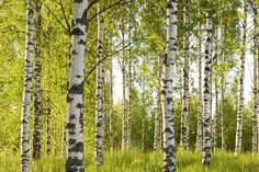 Birch trees in spring.