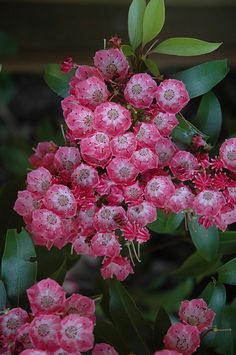 Pink Charm Mountain Laurel (Kalmia latifolia 'Pink Charm') at Connon Nurseries CBV