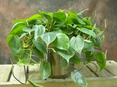 Top 10 Plants for an Indoor Vertical Garden - Philodendron (Philodendron sp.)