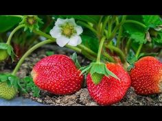The Unheralded Strawberry ~ Health Benefits Finally Getting Attention By: Linda Woolven & Ted Snider It's strawberry season! Organic Herbs, Berries, Organic Farming, Natural Farming, Herbs