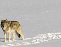 FILE - In this Feb. file photo provided by Michigan Technological University, a gray wolf is shown on Isle Royale National Park in northern Michigan. Six decades after gray wolves made their Michigan Technological University, Wolf Population, Wild Animals Photos, Apps, Park Service, Lake Superior, Endangered Species, Great Lakes, Predator