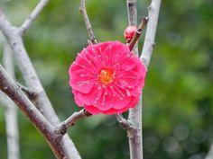 【コウバイ】紅梅 和名:ヤエカンコウ(八重寒紅) 英名:Japanese apricot 学名:Prumus mume var. yaekanko