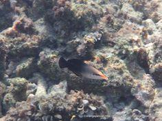 クギベラ Gomphosus varius