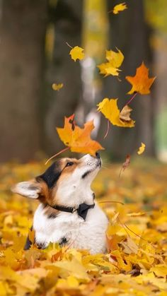 Corgi Pondering the Leaves