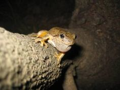 Peron's tree frog - Australia