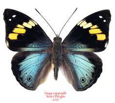 This is Apaturina erminiae from Papua.