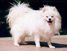 anche foto di volpino italiano vendita cuccioli di volpino italiano ...