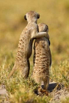 """A meerkat puts his arm around another in Makgadikadi Salt Pan, Botswana. The adult meerkat seems to be saying """"One day, son, all this will be yours"""" as the pair scan the horizon together. Nature Animals, Animals And Pets, Wild Animals, Happy Animals, Animals Photos, Wildlife Photography, Animal Photography, National Photography, National Geographic Photography"""