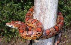 Corn Snake - North Carolina
