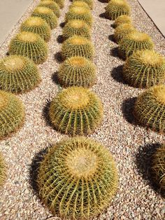 Rows of #cactus lining front #garden at #Art #Museum #BorregoSprings