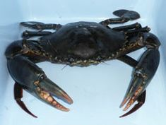 Mud crabs can be found in a large area including the northern half of Australia, the Philippines, the east coast of Africa and Pacific islands including Samoa and Fiji.  They can grow up to 25 cm long and weigh up to 3.5 kg but are usually sold between weights of 500g to 1kg. They yield about 25% meat, largely from the front claws.  They hide in the muddy bottoms of estuaries and mangrove forests during the day and come out to hunt at night.