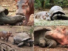 Baby hippo was separated from his family by a tsunami. He made a new BFF in 103 yo tortoise.  https://i.reddituploads.com/a8181ff07a8d47d99c18353948051945?fit=max&h=1536&w=1536&s=702422035b582209f52ce8d3ee14cd5d