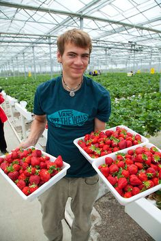 Hedgrerow Hydroponics, strawberry farm, Marlborough, South Island, New Zealand | Douglas Peebles