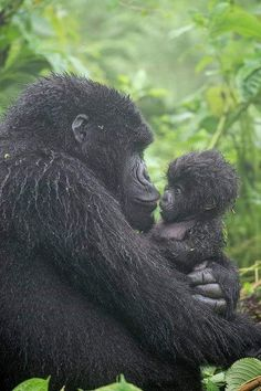 Photographic Print: Portrait of Mountain Gorilla, Gorilla Beringei Beringei, Embracing its Young by Tom Murphy : Primates, Mammals, Nature Animals, Animals And Pets, Wild Animals, Beautiful Creatures, Animals Beautiful, Cute Baby Animals, Funny Animals