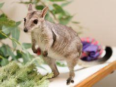 В зоопарке Перта поселился карликовый скальный кенгуру - http://zoovestnik.ru/2013/03/14038/