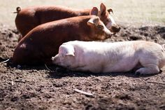 Raising Pigs: Why We Use Pastures AND Pens