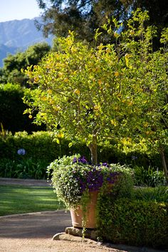 In this California garden, potted lemon trees define the four corners of the lawn. In other climates, they could be replaced with potted figs, pears or other fruit trees.