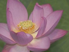 Les splendeurs de la floraison du lotus (© Getty Images)