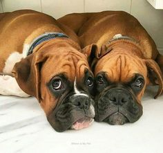 What do you mean we aren't going to the dog park? Aren't these sweet boxers just adorable? We love the expression on their faces. We can't get enough of them!