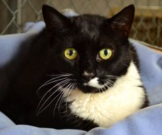 Mr. Sox is an adoptable Tuxedo Cat in Spring Lake, NJ. Tosca & Mr. Sox - Tosca and Mr. Sox were brought to Rescue Ridge when their care taker passed away. Tosca is a gorgeous Calico female, who looks...