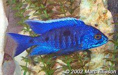 Adult male Haplochromis chrysonotus