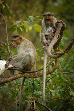 Monkeys, Goa India| Whysall Photography