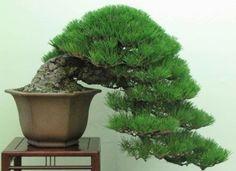 Japanese Black Pine Tree (10 Seeds)