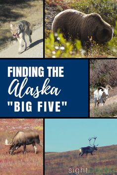 """Have you seen the Alaska Big 5? Add a """"safari"""" to your Alaska travel for amazing chances to spot wildlife (easily and cheap!) for gorgeous photography and once in a lifetime moments. Ideas for cruise, Anchorage day trips, and other spots for your summer vacation.  It's not just Denali!"""