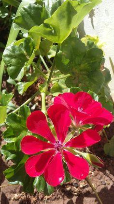 Gerânnio  combatem úlceras e pequenos cortes; ajudam a regular o fluxo menstrual; diminuem os sintomas de diarreia e hemorragia interna; gargarejos para dor de garganta e amigdalite; * repelente natural de insetos, sendo ótimos para serem plantados em floreiras nos parapeitos das janelas.   Assim como o gerânio,  o girassol e o manjericão atuam como verdadeiros inseticidas, enquanto a hortelã  também pode ser usada para afastar formigas e ratos.