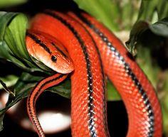 stunning red snake #animals #reptile