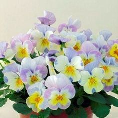 CARAMEL   ANGELO   Viola Seeds      Flowers are white with bright yellow faces and striking, pink or blue highlights along the petal edges.  Easter Flowers!