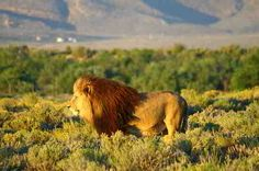 Lion at Inverdoorn Big 5 reserve Places To See, Places Ive Been, Male Lion, Big 5, Cheetahs, Game Reserve, Brown Bear, Cape Town, Big Cats
