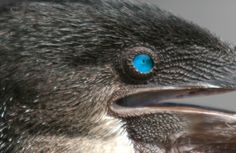The eye of a Flightless Cormorant. http://www.galapagosexpeditions.com/islands/animals-wildlife.php