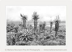 """Aloe Elders"" - Black and White Fine Art Photography by South African Master Photographer Marlene Neumann - www.marleneneumann.com - E-mail: neumann@worldonline.co.za"