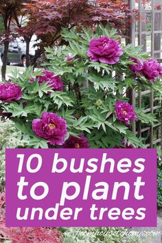 Find out which bushes to plant under trees in the shade garden in your backyard or front yard. These shrubs will help to brighten up your yard. #fromhousetohome #bushes #shade #gardeningtips #gardening #gardenideas #shadelovingshrubs #shadeplants #gardeningtipsandplants