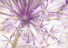 Detalle de la floración de la Cristophii Allium, Estrella de Persia, con una cabeza en forma de estrella púrpura.