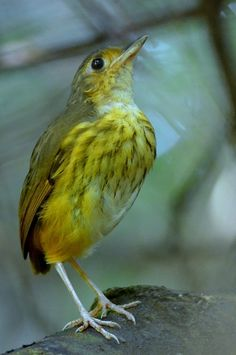 Torom-torom (Hylopezus berlepschi)