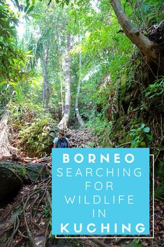 Borneo is home to several amazing and rare species of animals, such as orang-utans and proboscis monkeys. But being able to see them for yourself is very easy from Kuching. Here I explain how to see these eliciting animals whilst staying in Kuching. Rare Species Of Animals, Kota Kinabalu, Kuching, Borneo, Monkeys, Travel Guide, Travel Inspiration, Wildlife, Asia