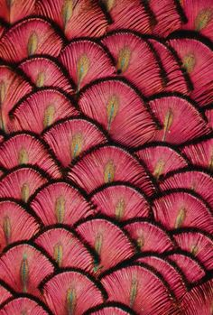 """musts: """"by © Michael Fitzsimmons peacock feathers """" Patterns In Nature, Beautiful Patterns, Textures Patterns, Color Patterns, Organic Patterns, Organic Shapes, Red Feather, Peacock Feathers, Feather Texture"""