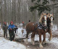 Marc Deslandes and his belgians. Acton Vale, 2012 february. Horse logging class.