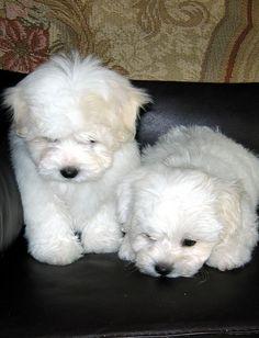 Coton de Tulear Male Puppies, via Flickr