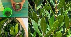 L'alloro è una pianta che può evocare diverse immagini. C'è chi pensando all'alloro immagina la testa coronata dei laureati, e chi più prosaicamente a un bell'arrosto saporito e profumato. Ma forse…