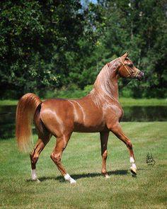 Nice Chestnut Arabian horse