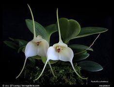 Masdevallia andreettaeana. A species orchid (color)