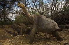 Picture of Lonesome George - (NGS Picture ID: 1351975) The last Pinta Tortoise