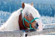 NORMAN Norman, Horses, Animals, Bavaria, France, Animales, Animaux, Animal, Animais
