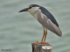 Image from http://focusingonwildlife.com/news/wp-content/uploads/2012/11/Black-crowned-Night-Heron-3.jpg.